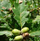 dub zimní <i>(Quercus petraea)</i> / Plod