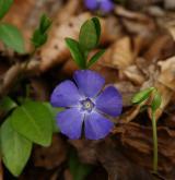 barvínek menší <i>(Vinca minor)</i> / Květ/Květenství