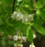 klokoč zpeřený <i>(Staphylea pinnata)</i> / Květ/Květenství