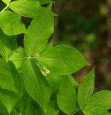 klokoč zpeřený <i>(Staphylea pinnata)</i> / List