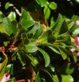 pěnišník chlupatý <i>(Rhododendron hirsutum)</i> / List
