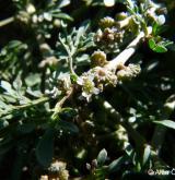 vranožka šupinatá  <i>(Coronopus squamatus)</i> / Květ/Květenství