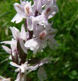 prstnatec Fuchsův <i>(Dactylorhiza fuchsii)</i> / Květ/Květenství