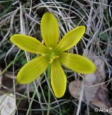 křivatec český <i>(Gagea bohemica)</i> / Květ/Květenství