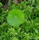 pupečník obecný <i>(Hydrocotyle vulgaris)</i> / List