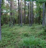 Západoevropské a středoevropské acidofilní doubravy <i>(Quercion roboris)</i> / Porost