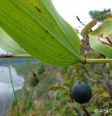 kokořík vonný <i>(Polygonatum odoratum)</i> / Plod