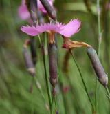 hvozdík lesní <i>(Dianthus sylvaticus)</i> / Květ/Květenství