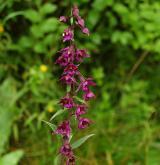 kruštík tmavočervený <i>(Epipactis atrorubens)</i> / Květ/Květenství
