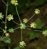 prorostlík dlouholistý <i>(Bupleurum longifolium)</i> / Květ/Květenství