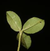 jetel jahodnatý <i>(Trifolium fragiferum)</i> / List