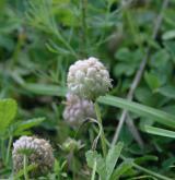 jetel jahodnatý <i>(Trifolium fragiferum)</i> / Habitus