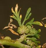 vranožka šupinatá  <i>(Coronopus squamatus)</i>