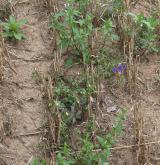 Teplomilná plevelová vegetace obilných polí na bazických půdách <i>(Caucalidion lappulae)</i> / Porost