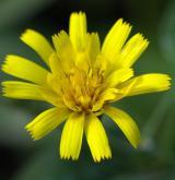 jestřábník věsenkovitý <i>(Hieracium prenanthoides)</i> / Květ/Květenství