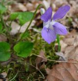 violka Rivinova <i>(Viola riviniana)</i> / Habitus
