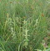 Vlhké pcháčové louky <i>(Calthion palustris)</i> / Detail porostu