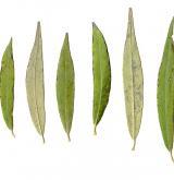 vrba bílá <i>(Salix alba)</i> / List