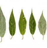 vrba křehká <i>(Salix euxina)</i> / List