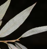 vrba bílá × trojmužná <i>(Salix ×undulata)</i> / List