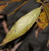vrba bílá × křehká <i>(Salix ×rubens)</i> / List