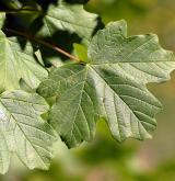javor kaspický <i>(Acer hyrcanum)</i> / List
