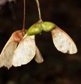 javor gruzínský <i>(Acer ibericum)</i> / Plod
