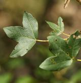javor gruzínský <i>(Acer ibericum)</i> / Květ/Květenství