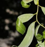 vrba Matsudova <i>(Salix matsudana)</i> / List