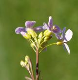 řeřišnice bahenní <i>(Cardamine dentata)</i> / Květ/Květenství
