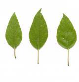 topol chlupatoplodý <i>(Populus trichocarpa)</i> / List