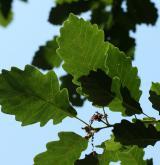 dub Sargentův <i>(Quercus ×sargentii)</i> / List