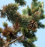 borovice osinatá <i>(Pinus aristata)</i> / Plod