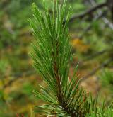 borovice pokroucená <i>(Pinus contorta)</i> / List