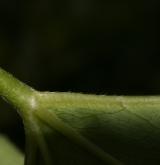 kontryhel tupý <i>(Alchemilla obtusa)</i> / List