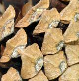 borovice rašelinná <i>(Pinus ×pseudopumilio)</i> / Plod