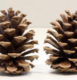 borovice těžká <i>(Pinus ponderosa)</i> / Plod