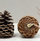 borovice skalní <i>(Pinus scopulorum)</i> / Plod