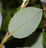 vrba páchnoucí <i>(Salix foetida)</i> / List