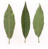 dub lachárolistý <i>(Quercus myrsinifolia)</i> / List