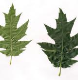 dub Richterův <i>(Quercus ×richteri)</i> / List