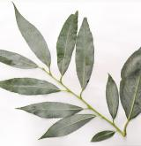 vrba smutná <i>(Salix ×blanda)</i> / List