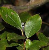 vrba Hegetschweilerova <i>(Salix hegetschweileri)</i> / List
