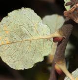 vrba tarraconská <i>(Salix tarraconensis)</i> / List