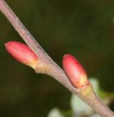 vrba tarraconská <i>(Salix tarraconensis)</i> / Větve a pupeny