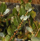 vrba bledá <i>(Salix starkeana)</i> / Větve a pupeny