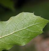 dub mexický <i>(Quercus rysophylla)</i> / List