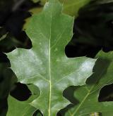 dub Maurův <i>(Quercus 'Mauri')</i> / List