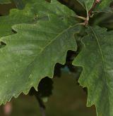 dub Muehlenbergův <i>(Quercus muehlenbergii)</i> / List