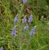 rozrazil dlouholistý <i>(Pseudolysimachion maritimum)</i> / Květ/Květenství